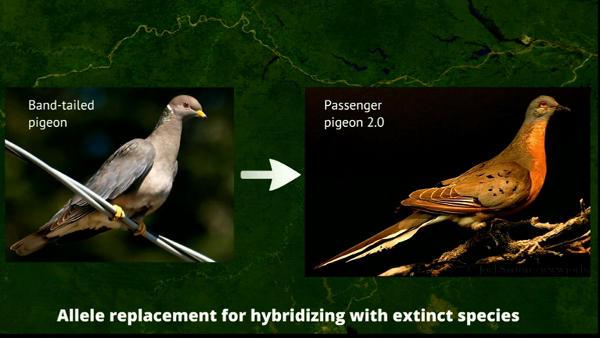 a passenger pigeon