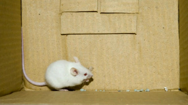 mice in cages can develop aggressive behaviors