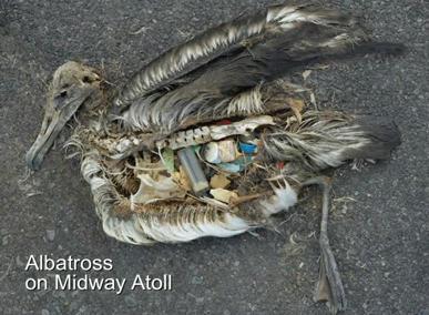 un corps d'oiseau, le ventre rempli d'objets en plastique
