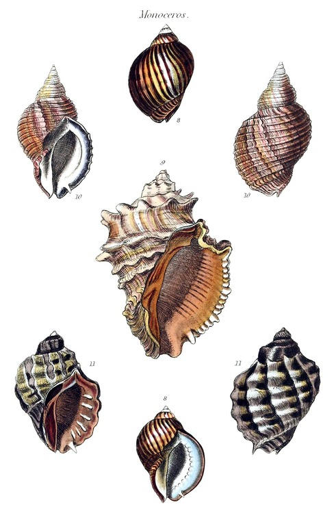 drawings of some sea shells